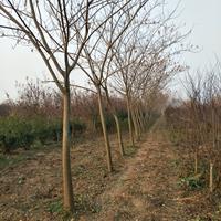 合歡 2-12公分合歡樹苗 合歡苗 規格齊全 保質保量