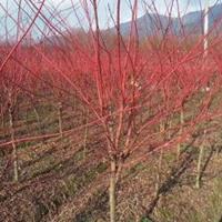 低价出售:赤枫、赤枫苗、日本红枫、三季红红枫