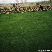 中华结缕草草坪图片·中华结缕草草坪