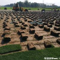 马尼拉草坪·马尼拉草坪图片·马尼拉草坪种植基地