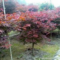 中国红枫·中国红枫图片·中国红枫种植基地