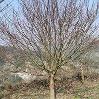 浙江省绍兴正刚苗木场批发供应红豆杉、红枫、垂丝海棠、
