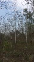 江西楓香樹價格買楓香小苗到江西九江楓香樹行情今年哪里的楓香樹