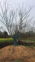 樸樹價格江西樸樹報價今年九江樸樹批發大量供應各種規格樸樹樸樹