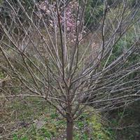 浙江红豆杉、红枫、樱花、垂丝海棠