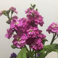 紫罗兰种子  基地直发 价格优惠 花色好耐寒耐旱