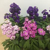 销售紫罗兰种子 紫色花卉种子 品质好价格低