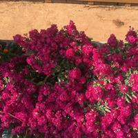 直销紫罗兰种子 紫色草花种子 耐寒耐旱易种易管理