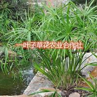 供应旱伞草水竹挺水植物水生植物批发零售