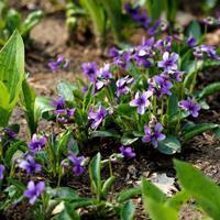紫花地丁种子价格 观花植物 花卉种子 庭院园艺