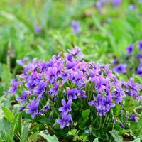 供应紫花地丁种子 园林绿化工程花海  品种齐全