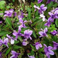 优质新草花种子 紫花地丁种子 发芽率高 价格便宜