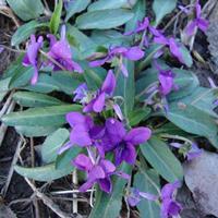 供应优质紫花地丁种子 品种保证 发芽率高