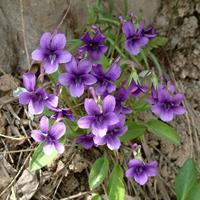 优质种紫花地丁种子 易播易管理 花卉草坪观花草籽