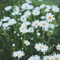 进口小雏菊种子  质量无忧 厂家直销  观赏性好花期长