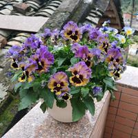 直销三色堇种子 优质草花种子 耐寒耐旱易种易管理