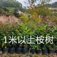 桉树,桉树苗,桉树价格
