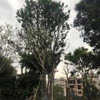 樸樹,福建樸樹,樸樹價格,精品樸樹