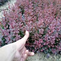 江苏紫叶小檗基地/紫叶小檗苗圃/紫叶小檗照片/紫叶小檗价格