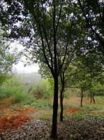 廣西香樟樹批發精品香樟樹價格桂林有大規格的香樟樹買優質香樟到