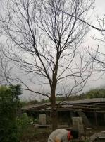 今年我苗圃的烏桕價格便宜買兀鷲,到廣西桂林桂林的烏桕價格確實