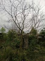 廣西烏桕批發烏桕小苗批發桂林的烏桕數量多要買好的屋就到廣西桂