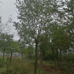 大量供应各种规格沙朴树