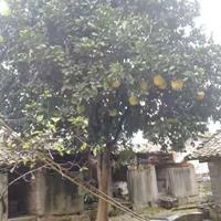 大小规格香柚 南昌香柚价格 江西柚子树基地