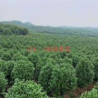 江西九江茶花米径0.6-1米哪里好/哪家便宜