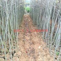 江西九江枫香地径1.5-2公分价格/报价