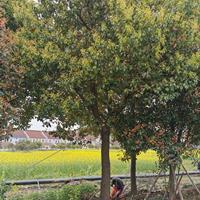 大小規格香樟樹 長興香樟報價基地