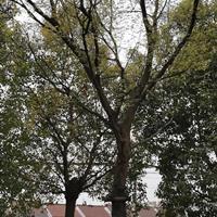浙江供应朴树 湖州朴树价格 大小规格朴树规格齐全