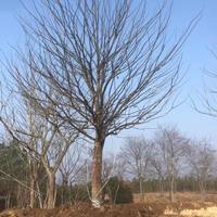 大小規格單桿樸樹 安徽單干樸樹  樸樹價格基地