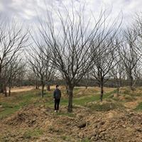 安徽滁州單桿樸樹 滁州樸樹低價哪里好/哪家便宜