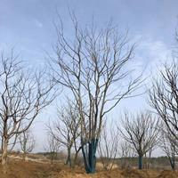 優質特價叢生樸樹 安徽叢生樸樹價格 滁州叢生樸樹產地直銷