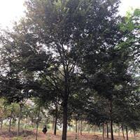 安徽供应榉树 安徽榉树 滁州榉树规格齐全