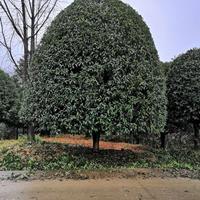 優質特價桂花樹價格 桂林桂花 可供南寧桂花樹 產地直銷