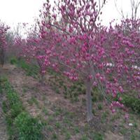河南红叶桃,美人美,榆叶梅等等