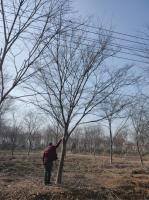 江苏4公分榉树6公分榉树8公分榉树10公分榉树价格便宜批发