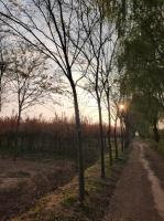 江苏12公分榉树价格15公分榉树价格便宜出售