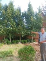 江蘇18公分銀杏樹20公分銀杏樹22公分銀杏樹價格批發