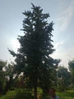 江苏25公分银杏树价格30公分银杏树价格便宜批发零售