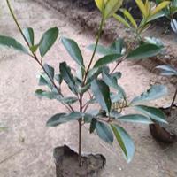 河南鄢陵信用花木供应商,丰华月季,石楠等