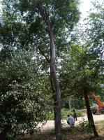 江蘇8公分樸樹10公分樸樹12公分樸樹15公分樸樹價格便宜批