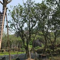 供應20-35cm樸樹