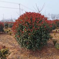 红叶石楠球批发/红叶石楠球基地/红叶石楠球低价格。规格齐全