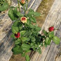 品种月季 玫瑰 大花月季供应