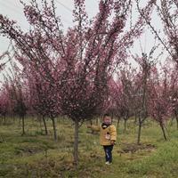 出售垂絲海棠 3-12公分垂絲海棠樹苗價格 基地直銷 量大價