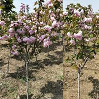 基地直銷櫻花批發,丁香,木槿,紫薇