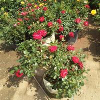 丰花月季苗,丰花月季杯苗,丰花月季苗种植基地